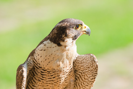 merlin falcon: Portrait of the fastest wild bird of prey falcon or hawk against lawn