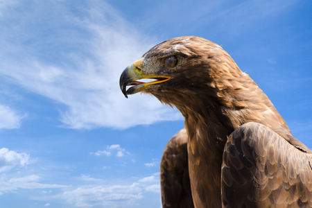 Close-up profile portrait of big golden eagle against deep blue sky as background with free place for copyspace your text photo