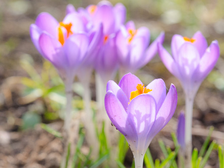 croci: Crocus spring blooming violet flowers on Alpine meadow. Photo with soft focus and small DOF.