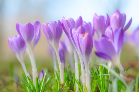 croci: Fresh fragile beautiful first spring crocus blossoming pastel flowers on sunlit Alpine glade. Stock photo with soft focus small DOF and free copy-space place for your text. Stock Photo