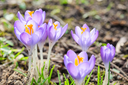 croci: Vivid spring blooming crocuses or saffron sunlit flowers on sunny glade in Alps Stock Photo
