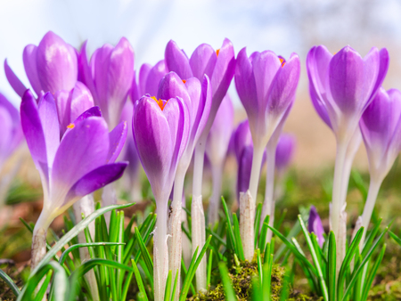 croci: Beautiful spring blooming purple crocus flowers on Alpine sunlight meadow. Stock photo with shallow DOF and blurred background.