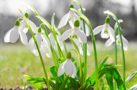 galanthus: First spring flowers backlit snowdrops on sunshine Alpine glade. Stock photo with shallow DOF and soft blurred desaturated background.