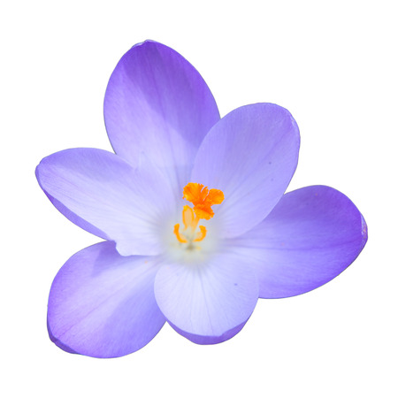 Single blue crocus spring flower isolated on white background top view photo