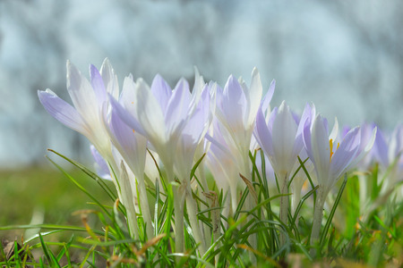 croci: Spring wallpaper with gentle pastel blue crocus flowers on sunlit Alpine glade. Stock photo with shallow DOF and blurred background.