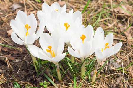 croci: Tender spring blooming white crocus flowers on sunlight Alpine meadow Stock Photo