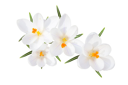 croci: White spring blossom of sunlit crocus tender flowers with leaves isolated top view