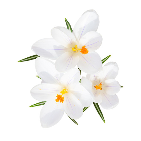 croci: Spring blooming fragile crocus white sunlight flowers with leafs top view isolated