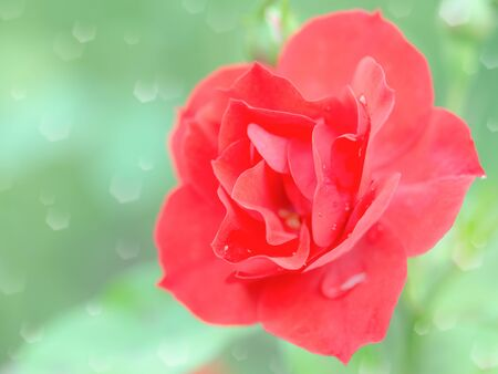 red rose bokeh: Wet tender red rose flower with rain drops. Stock photo with selective soft focus shallow DOF and blurred bokeh background