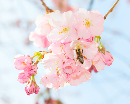 obtaining: Honey bee pollinating springtime blooming orchard fruit garden and obtaining nectar and pollen from pink spring blossom flowers