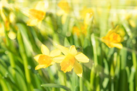 Spring blossom narcissus daffodils vivid yellow sunlit flowers with sunbeams and rays on blurred bokeh background. Filtered and toned stock photo with selective soft focus and shallow DOF.