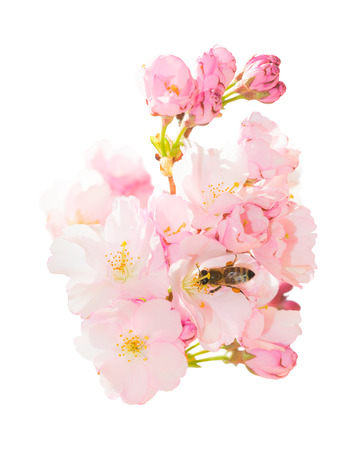Isolated on white bunch of spring blossom pink flowers with honeybee pollinating springtime blooming orchard fruit garden and obtaining nectar and pollen Stockfoto