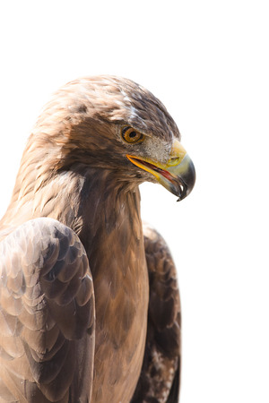raptorial: Vertical close-up profile portrait of golden eagle bird of prey isolated on white Stock Photo