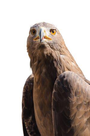 raptorial: Portrait of wild golden eagle predator bird isolated on white background Stock Photo