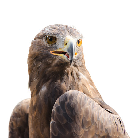 raptor: Beautiful strong raptor golden eagle bird isolated on white