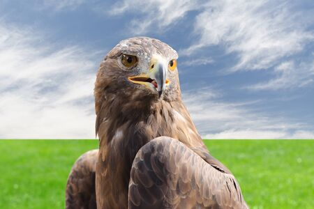 raptor: Beautiful golden eagle strong raptor bird against natural cloudy sky and grass background Stock Photo