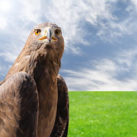 iluminado a contraluz: Retrato de salvaje depredador pájaro del águila de oro sobre el fondo de sol naturales