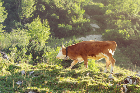skewbald: Red and white calf of Hereford breed cattle grazing on sunlit hillside of Alps. Toned and filtered photo with warm summer lighting. Stock Photo