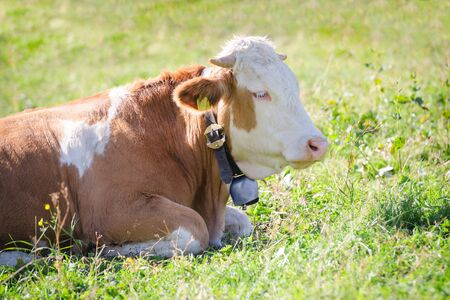 hereford: Purebred Hereford cow with bell lying on fresh green grass of Alps sunlight pasture meadow
