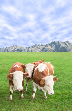 skewbald: Group of cow calves grazing against Alps mountains landscape on Alpine pasture