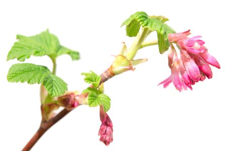 bourgeon: Ribes sanguineum or red-flowering currant spring blossom purple flowers on branch. Isolated on white photo with shallow depth of field and selective focus point Stock Photo