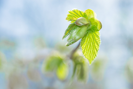 Fresh spring sprouting leaves and buds on blossoming twig against blue sky blurred background. Close-up photo with shallow DOF and selective focus point.
