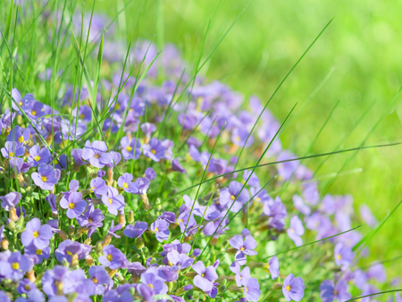 Small blue field flowers on sunlight alpine meadow background stock photo with shallow depth of field