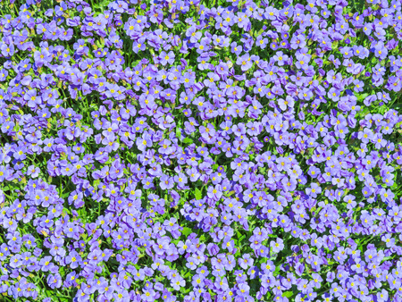 Sunlit flowering meadow with million Aubrieta tiny blue summer flowers background
