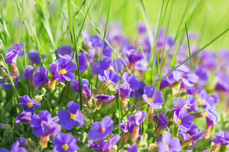 Multitude Aubrieta small blue flowers in grass on sunny alpine mountain glade with dew drops