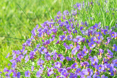 Tiny violet decorative flowers Aubrieta in sunshine ornamental garden stock photo with shallow DoF and selective focus