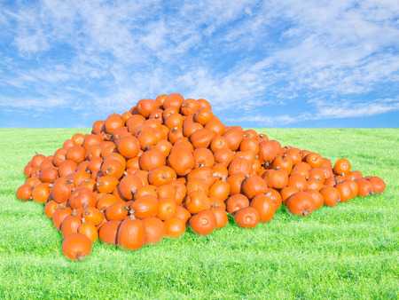 Bountiful harvest on the pumpkin patch. Big pile of many ripe large pumpkins on fresh green field under blue sky.