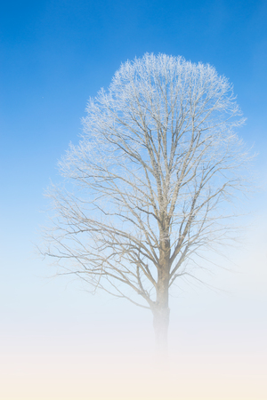 Natural white lace of hoarfrost on frosty tree branches against winter morning cloudless deep blue sky and fog haze above the ground Stock Photo