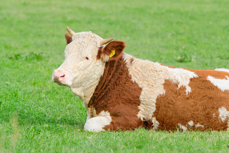 Young cow of Hereford breed lying on sunny Alpine pasture with natural fresh grass Stock Photo