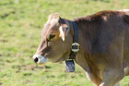 Brown Swiss breed cow grazing on summer sunlight pasturage meadow on slopes of Alps mountains Stock Photo