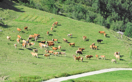 Herd of cattle grazing on sunlit spring highlands grassland in valley of Alps mountain slopes