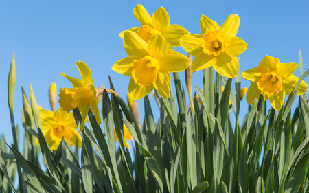 Bright vivid yellow daffodils flowers blooming on sunlit spring meadow against serene blue sky Stock Photo