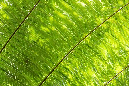 Sunlight backlit fern fronds leaves natural floral background with shallow deepth of field. Cyathea dealbata is unofficial symbol of New Zealand.