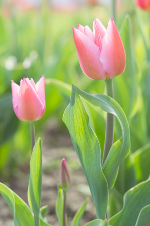 Gentle couple of romantic tulips flowers with spring morning dew drops on sunny glade Stock Photo
