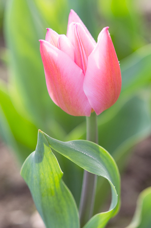 stock photo   tulip: Backlit tender and romantic tulip flower with spring morning dew drops on sunlight meadow Stock Photo