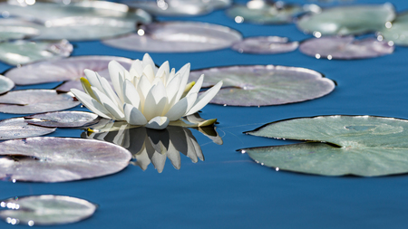 specular: White lotus flower on mirror blue pond surface. Toned and filtered outdoors stock photo with reflection.