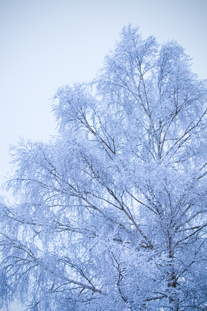 First snow on branches of frosty tree in morning snowbound forest