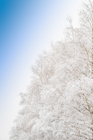 Beautiful frosty morning view with frozen branches of snowy tree in snow-covered forest