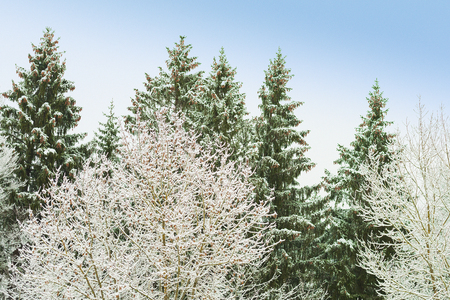 Snowy trees with frosty branches in snowbound winter forest