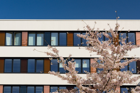 Facade of modern office building with spring blossoming apple tree in courtyard and blue sky reflection in windows