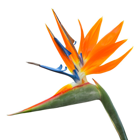 Exotic tropical flower of Strelitzia reginae or bird of paradise isolated on white Banco de Imagens