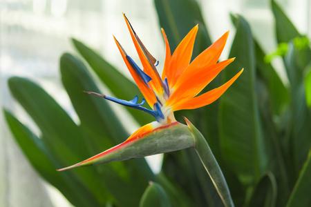 Exotic tropical flower of Strelitzia reginae or bird of paradise in greenhouse Standard-Bild