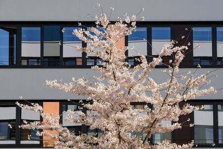 Spring blossom sakura cherry tree in inner yard of modern office building with blue sky reflection in mirrored windows Standard-Bild - 133236677