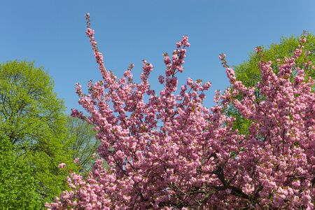 Bright blossom of pink flowers on cherry tree in sunlit spring city park