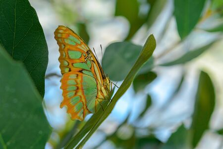 Tropical exotic Malachite butterfly or Siproeta stelenes sitting on the leaf in Amazon rainforest