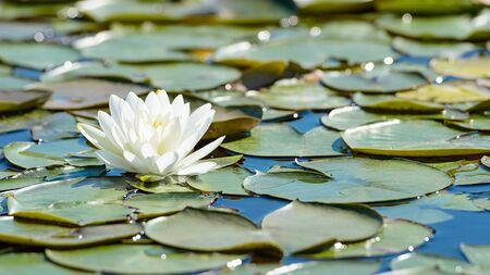White lotus flower and lush waterlily foliage on water surface of natural lake Standard-Bild